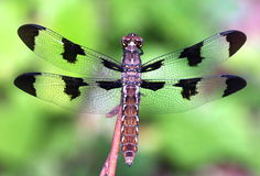 Common Whitetail Dragonfly (Libellula lydia) Stock Image