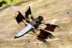 Common Whitetail Dragonfly Royalty Free Stock Photos