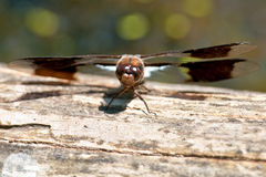 Common Whitetail Dragonfly Stock Image