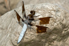 Common Whitetail Dragonfly Royalty Free Stock Image