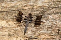 Common Whitetail Dragonfly - Plathemis lydia. Female Common Whitetail Dragonfly resting on a rotting log. High Park, Toronto, Ontario, Canada Stock Photo