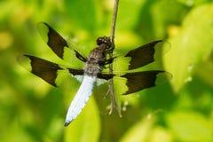 Common Whitetail Dragonfly - Plathemis lydia. Male Common Whitetail Dragonfly perched on a plant stem. High Park, Toronto, Ontario, Canada Stock Image