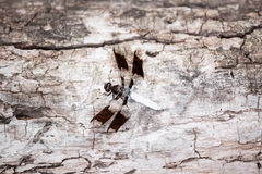 Common whitetail skimmer dragonfly Stock Photos
