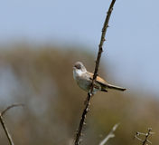 Common Whitethroat Stock Photo