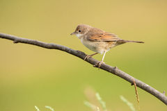 Common whitethroat on a branch Royalty Free Stock Image