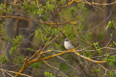 Common Whitethroat. On a branch Royalty Free Stock Image