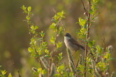 Common Whitethroat and catkins Royalty Free Stock Images