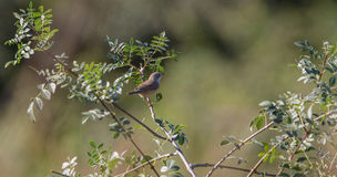 Common Whitethroat Stock Image