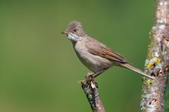 Common whitethroat female or young bird perched on small stick with green background stock image