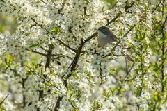 Common whitethroat in the field,Sweden stock photos