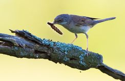 Adult Common whitethroat with a caterpillar in beak for his youngs stock photography