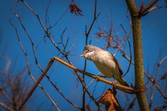 Common whitethroat standing on a branch royalty free stock photos