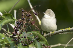 Common Whitethroat in natural habitat / Sylvia communis Royalty Free Stock Photos