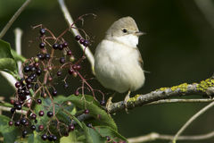 Common Whitethroat in natural habitat / Sylvia communis Stock Photo