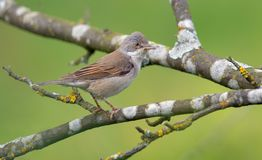 Common whitethroat posing on lichen covered twigs royalty free stock photography
