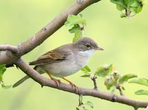 The common whitethroat Sylvia communis close-up stock images