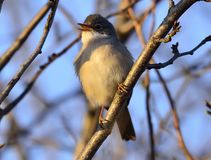 Common whitethroat Sylvia communis. At the garden Stock Photography