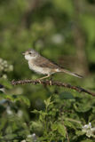Common whitethroat, Sylvia communis Royalty Free Stock Photos