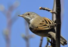 Common whitethroat Sylvia communis. At the garden Royalty Free Stock Image