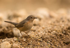 Common Whitethroat Stock Photography