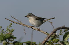Common whitethroat, Sylvia communis. Male, Wales Royalty Free Stock Images