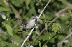 Common whitethroat, Sylvia communis Stock Photo