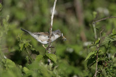 Common whitethroat, Sylvia communis. Male, Wales Royalty Free Stock Photography