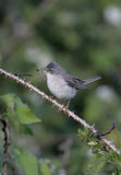 Common whitethroat, Sylvia communis. Male, Wales Stock Images