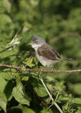 Common whitethroat, Sylvia communis Royalty Free Stock Image
