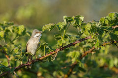 The common whitethroat (Sylvia communis) Stock Photo