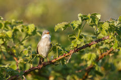 The common whitethroat (Sylvia communis) Stock Photography