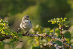 The common whitethroat (Sylvia communis) Royalty Free Stock Photos