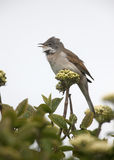 Common whitethroat, Sylvia communis Royalty Free Stock Images