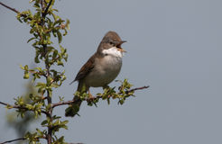 Common whitethroat, Sylvia communis Stock Photography