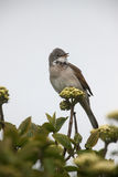 Common whitethroat, Sylvia communis Stock Photos