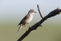 Common whitethroat, Sylvia communis Stock Image