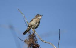 Common whitethroat, Sylvia communis. Single male on branch singing, Warwickshire, May 2014 Stock Image