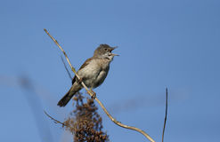 Common whitethroat, Sylvia communis. Single male on branch singing, Warwickshire, May 2014 Royalty Free Stock Images