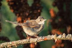 Common Whitethroat Sylvia communis sitting on a branch stock photography