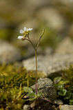 Common Whitlowgrass - Erophila verna Stock Image