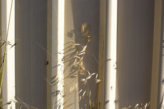 Common Wild Oats against a Cream Metal Fence. Stock Photography