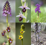 Common wild orchid flowers of western Europe Stock Photos