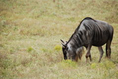Common wildebeest (connochaetes taurinus) Stock Photography