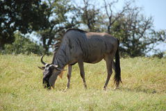 Common wildebeest (connochaetes taurinus) stock image