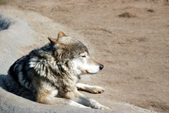 Common wolf Stock Photo