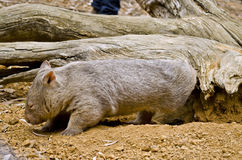 Common wombat Stock Photos