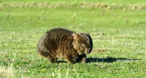 Common Wombat in field. Common Wombat (Vombatus Ursinus) in bushland in Australia. A marsupial animal Stock Photography