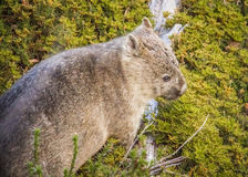 Common Wombat. Found at Mount Fields National Park Stock Photo