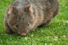 Common Wombat. Grazing during day, close up,  Tasmania, Australia Royalty Free Stock Image
