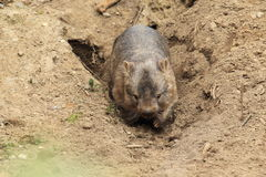 Common wombat. In a hole Royalty Free Stock Photos